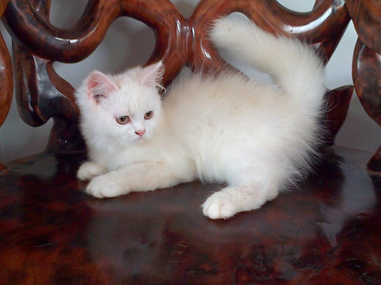 Kucing Persia Jambi