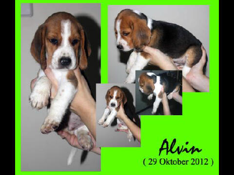 For sale anakan anjing beagle super duper mantab ^^