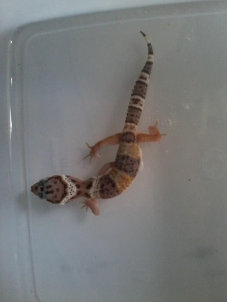 Leopard Gecko Murmer