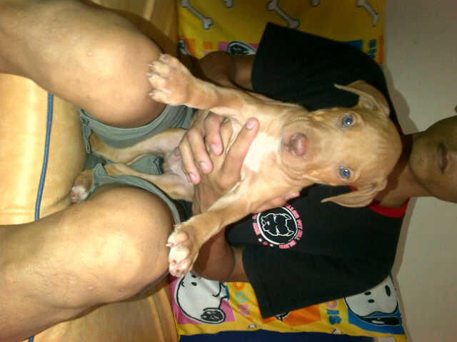 PITBULL GOOD QUALITY (2 BETINA & 1 JANTAN)