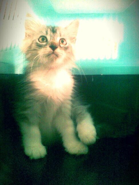 kitten persia muraah!!