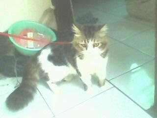 Kucing Persia Jantan Gede BDG
