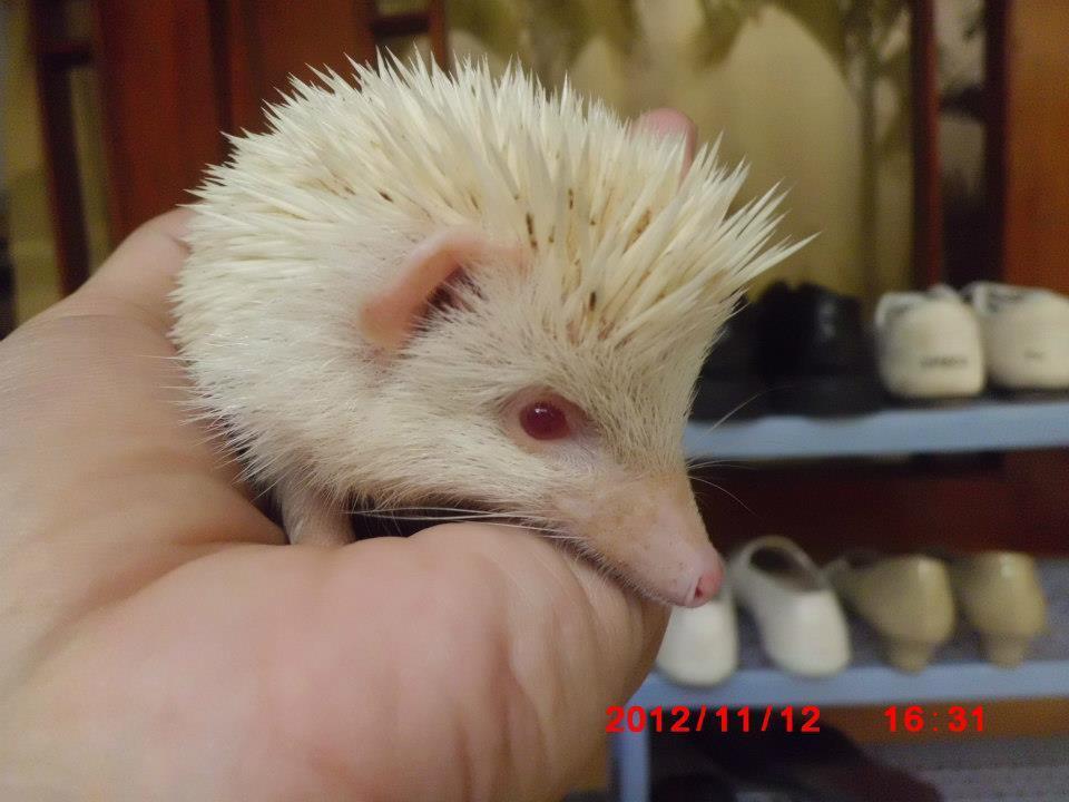 landak mini champ+albino Solo