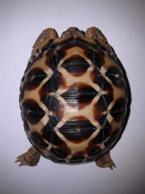 indian star tortoise bandung unik murmer