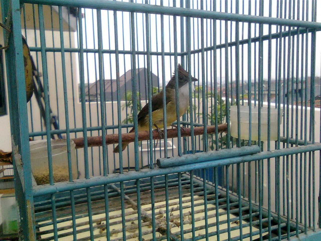 Burung Anis Merah (BANDUNG)