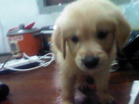 Jual Anakan Golden Retriver