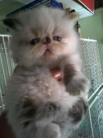 kucing persia (kitten) to adopt