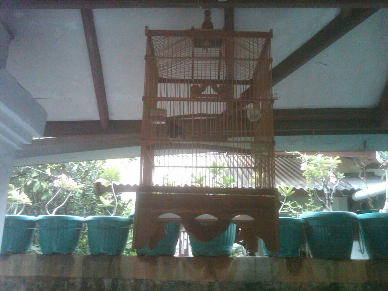 Burung Kacer Gacor!! Jaksel