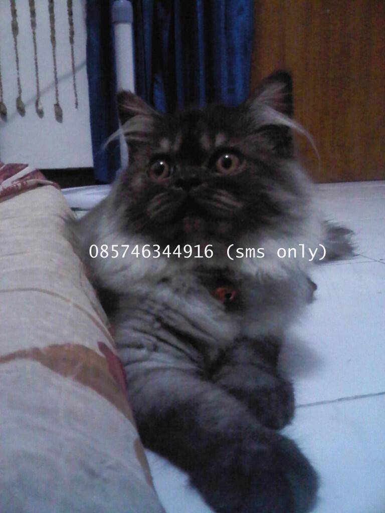Ready Adopt Kucing Persia Betina Peaknose