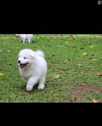 6 SAMOYED PUPPIES FOR ADOPTED