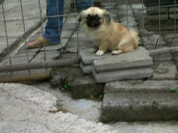 anjing pekingese jantan 6 bulan ,stambum,vaksin
