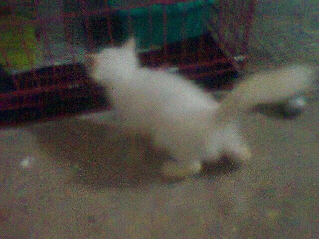Kitten Persia Mix Anggora White Solid + Kandang 3 tingkat