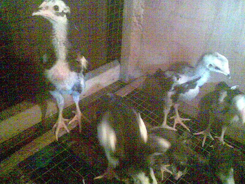 bibit ayam bangkok umur 2-1 bulan
