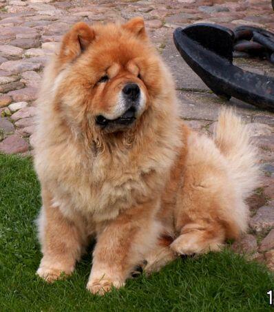 10 Anjing Yang Paling Sulit Dilatih Kaskus