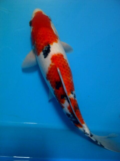 Ikan Koi sanke, aka hajiro, Hi utsuri Gantenk koleksi Pribadi
