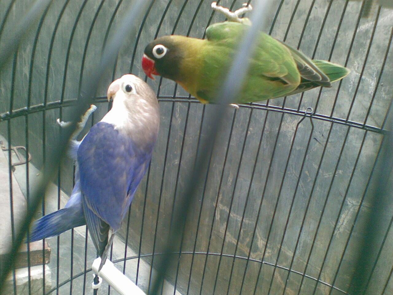 di jual Lovebird siapan