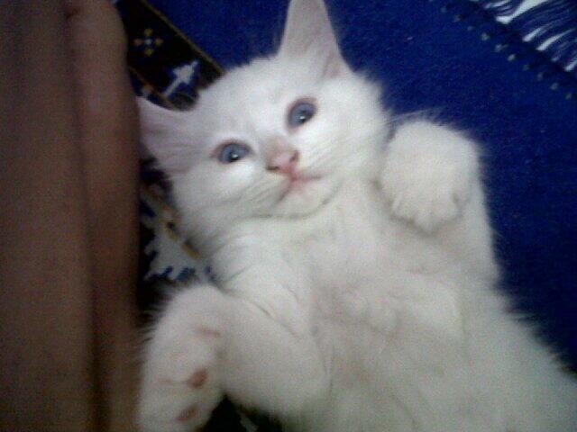 WTS Kucing Persia silang Angora Yogyakarta