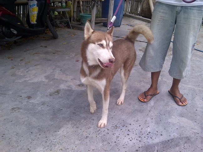 Siberian Husky Jantan Istimewa stamboom