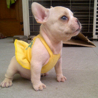 french bulldog jantan stamboom