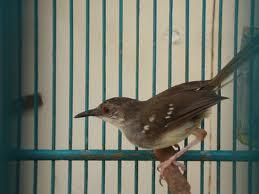berbagai burung ocehan mulai dari prenjak ada.