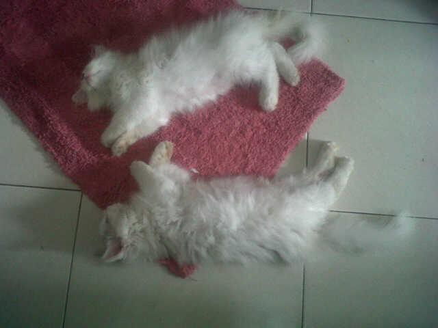 Jual Kucing Persia Borongan