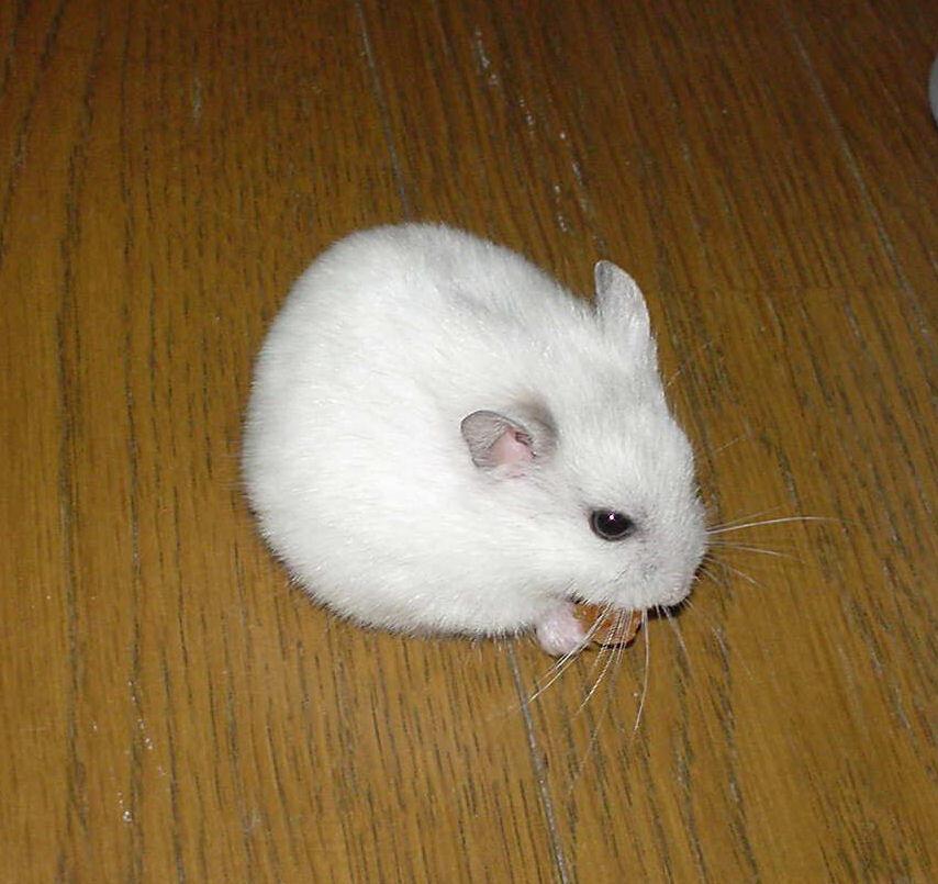 Barter Hamster