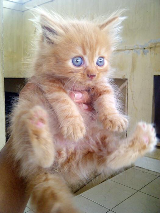 jual kitten persia red tabby lucuuu
