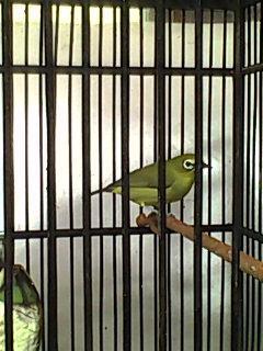 Jual Burung Pleci Jogja Ngerol Bagus 081215549601