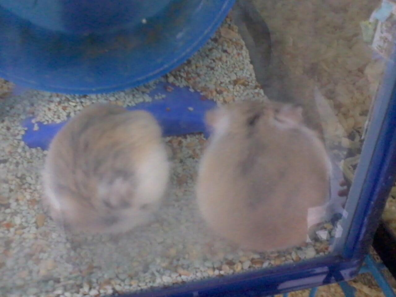 hamster Roborvski WF dan Kandang Second/Bekas