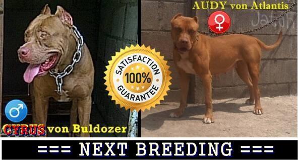 best puppies pitbull APBT