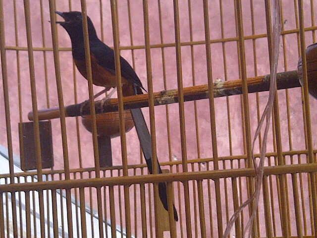 Burung Murai Batu Medan - Love Bird - Kenari Taiwan (BORONGAN)