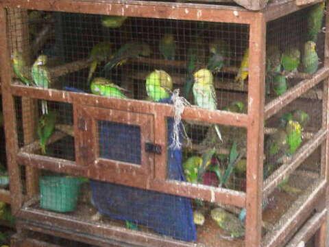 burung parkit sepasang