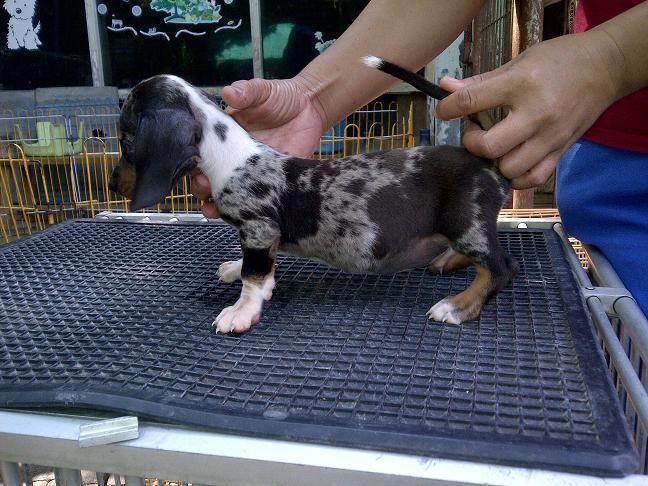 tekel/dachshund daple jantan betina stamboom