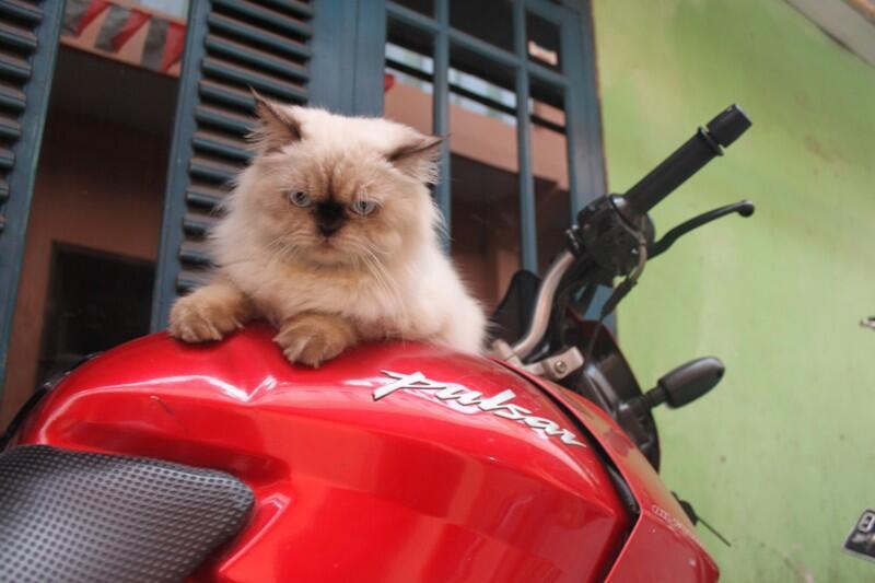 WTS kucing himalaya nurah