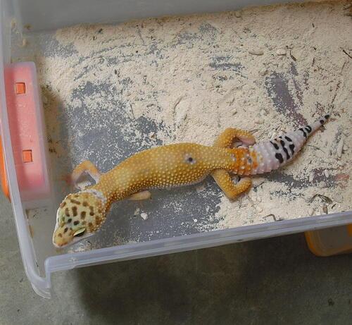 supersale gecko-gecko cakep
