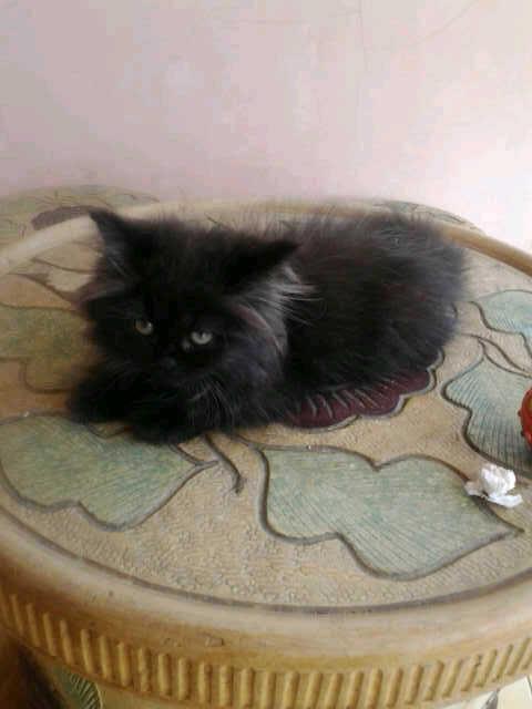 Kucing Persia Medium Lucuuuuu Murmer ( bandung )