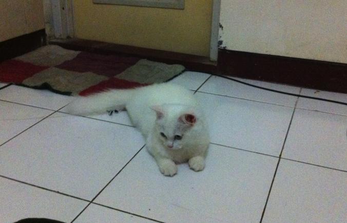 Kitten Persia putih solid Jogja