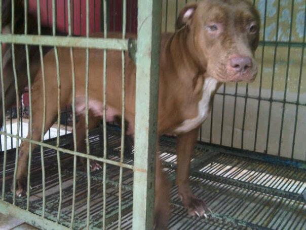 Pitbull betina puppy