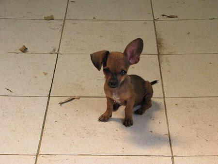 Jual Puppy Chihuahua Mix Daschund(Tekel) Murah
