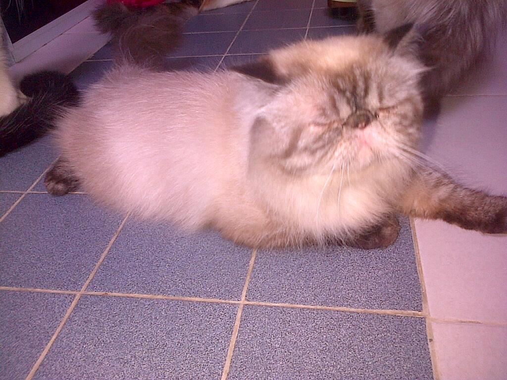 WTS Kucing Persia & Norwegian Batam