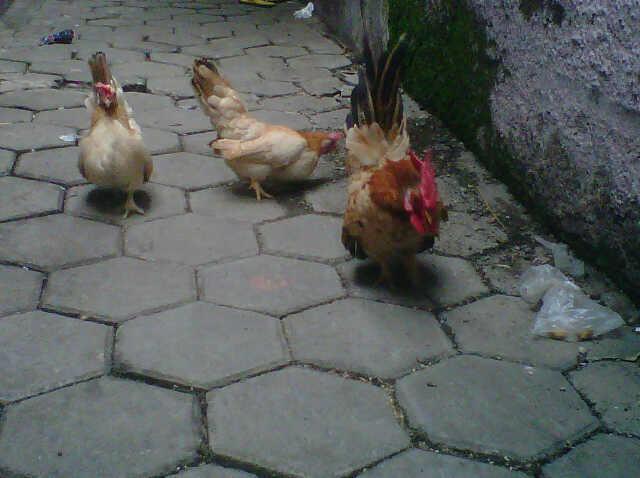 Jual Borong Ayam kate Serama 1 jantan 2 betina Siap [ bandung ]