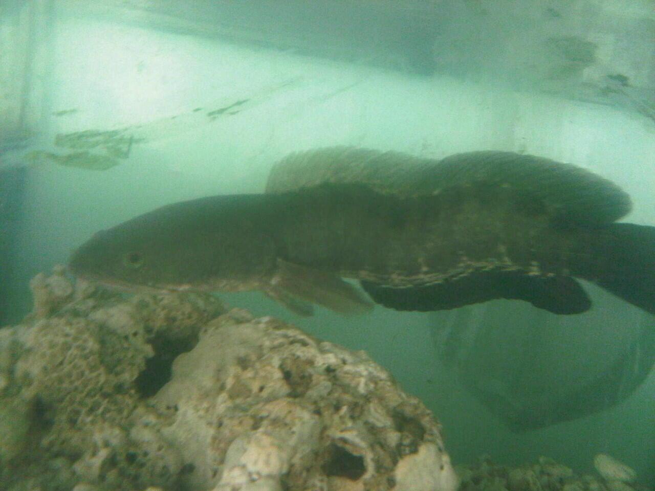 ikan gabus aka Channa striata
