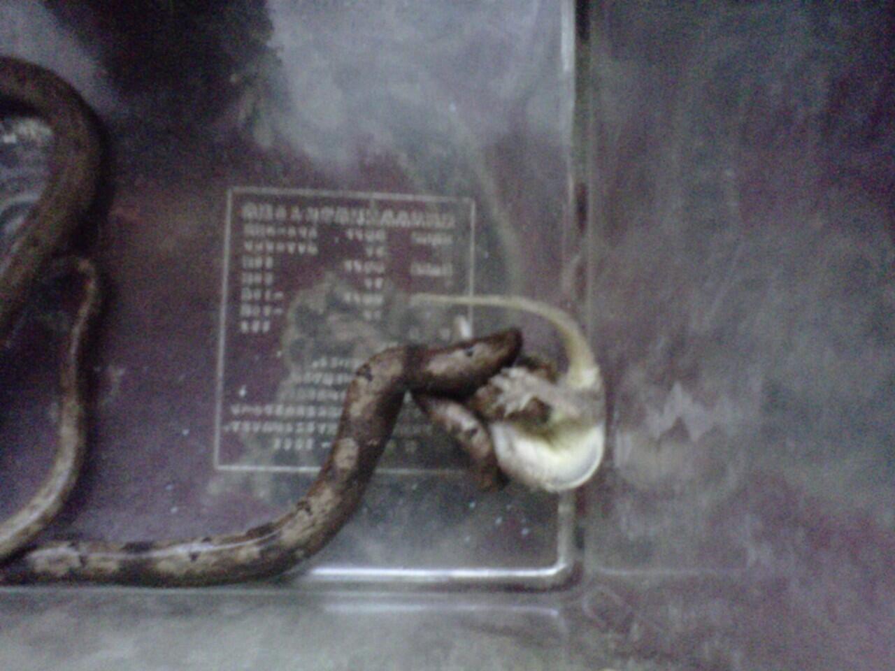 jual ular momo pohon