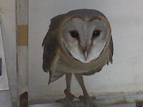 WTS Barn Owl Juve mantapp!!!