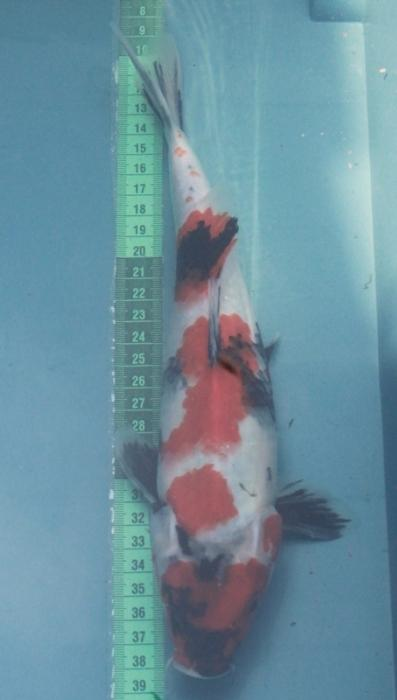Jual Ikan Koi Show Quality