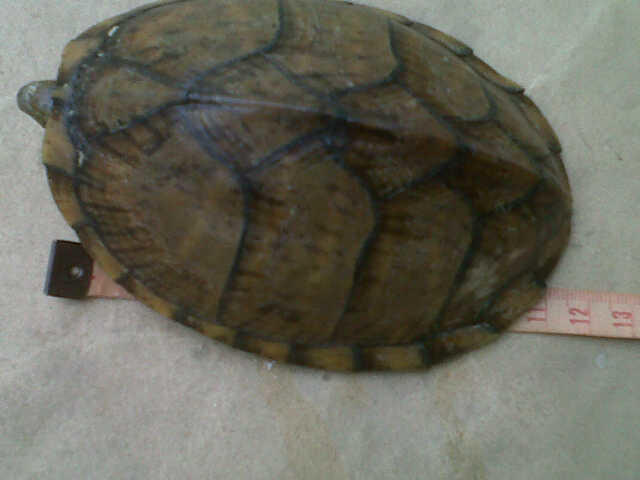 sternotherus carinatus jantan 11cm (razorback turtle)