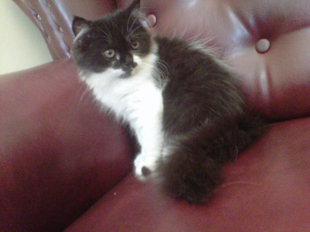 kucing kitten persia medium nose