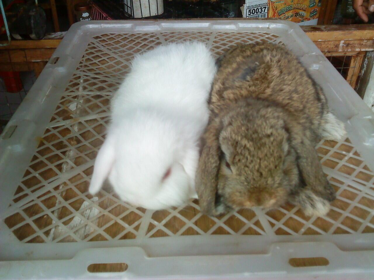kelinci hias lucu dan imut
