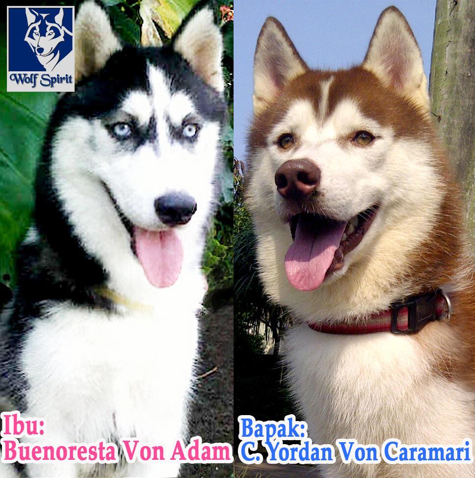 Dijual Siberian Husky Puppy Blood Line Import, Harga Super Murah plus BONUS Menarik!!