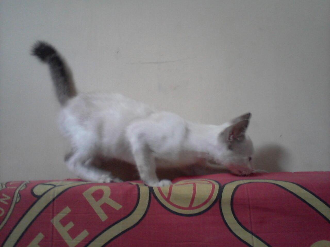 kucing kitten siamase jogja